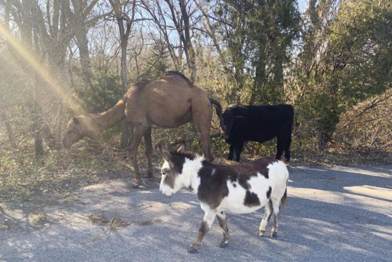 Camel cow donkey kansas